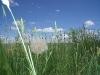 dandelion-ingomar