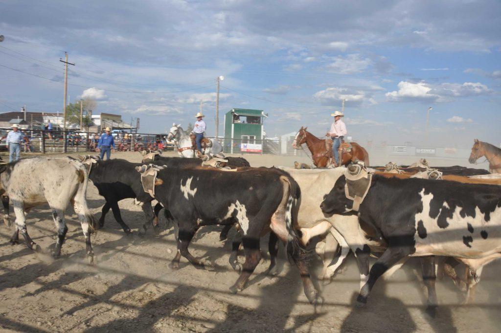 Ingomar MT 2015 rodeo getting the bulls ready